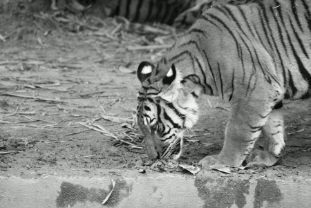 Tiger sniffing dirt and drinking water at a puddle