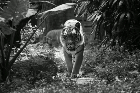 Tiger walking through a path in jungle  Stock Photo