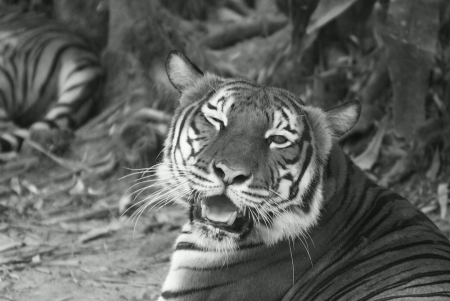Tiger give a wink face toward onlookers