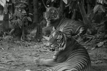 Tigers resting in jungle bushes