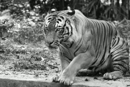Tiger getting up from rest Stock Photo