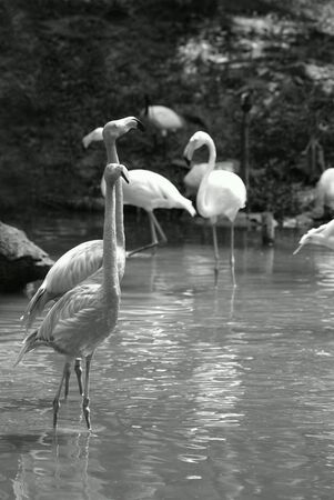 wading: Flock of flamingos wading in a pond