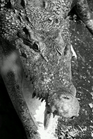nose: Freshwater crocodile bare its mouth open