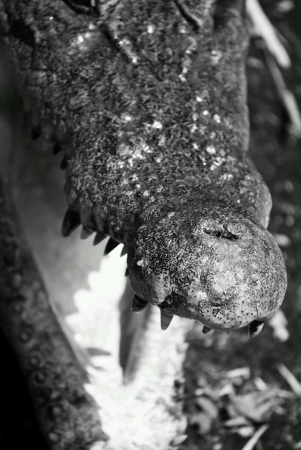 nose: Freshwater crocodile bare its mouth open close up on nose