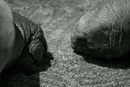 Big Galapagos tortoises head and paw