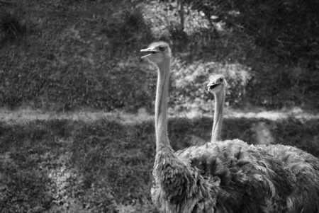 Two adult ostriches walking in a fenced park