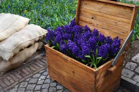 hyacinth: Blue hyacinth