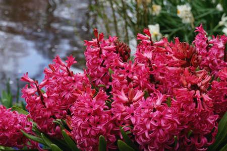 hyacinth: Pink hyacinth Stock Photo