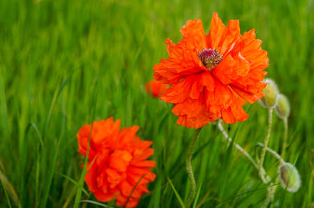 oudoors: Bright poppy flowering on the meadow