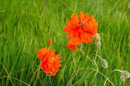 oudoors: Wild poppies  blooming on the meadow Stock Photo