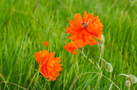 oudoors: Blooming poppies on the meadow