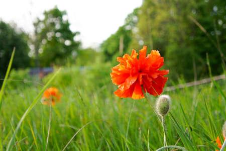 oudoors: Wild poppy flowering on the meadow