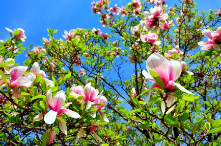 Magnolia in blossom, Springtime in Washington DC, USA. photo