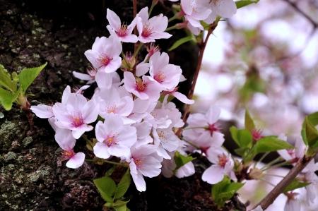 Little Cherry Blossoms Stock Photo - 19086534