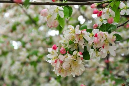 Cherry blossoms in the rain photo