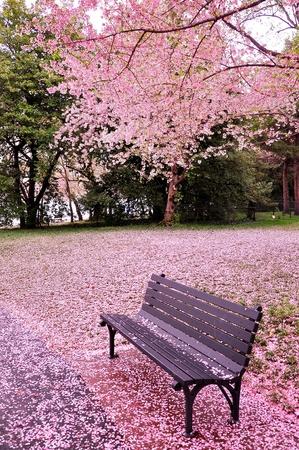 arbol de cerezo: Tiempo de la flor de cerezo