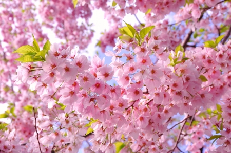 Cherry blossom  Stock Photo - 19086531
