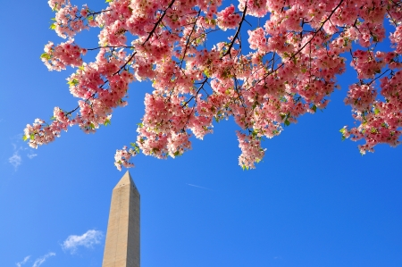 Cherry blossoms on Washington Monument, Washington DC, USA photo