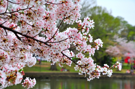 washington landscape: Cherry blossoms on Tidal Basin, Washington DC, USA