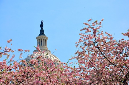 US Capitol in cherry bloom, Washington DC, USA photo