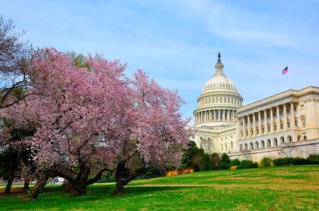 arbol de cerezo: Capitolio de EE.UU. en madera de cerezo flor Foto de archivo