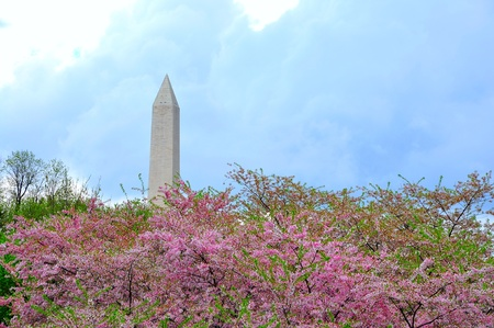Washington Monument in cherry bloom photo