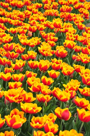 Fire tulips photo