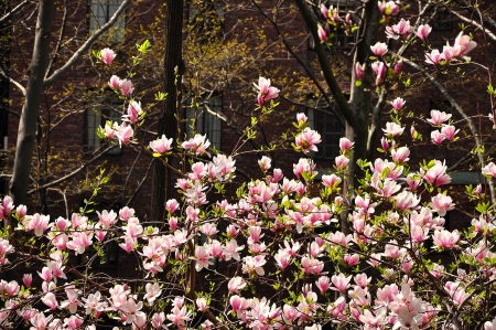 Magnolia in blossom photo