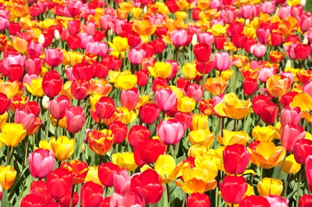 Colorful tulip garden in Boston Public Garden, USA photo