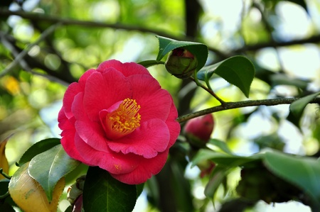 broad leaved tree: Camellia flower Stock Photo