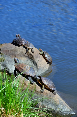 Six turtles on the rock in the North lake of Central Park, New ork city, USA photo