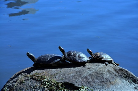Three turtles on the rock in the North lake of Central Park, New ork city, USA photo