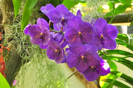vanda: Vanda purple orchids
