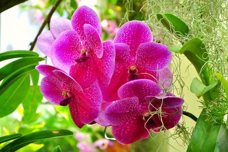vanda: Vanda pink orchidsorchids