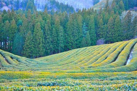 tea plantations: Green tea plantation in winter  Boseong green tea plantation, South Korea