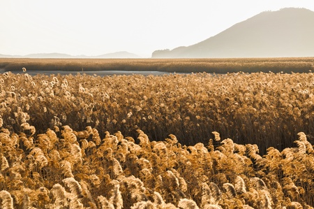 The field of reeds in gorgeous sunset in Suncheonman bay  It is the biggest colony of reeds in Korea  photo