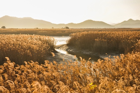 reeds: The field of reeds in gorgeous sunset in Suncheonman bay  It is the biggest colony of reeds in Korea  Stock Photo