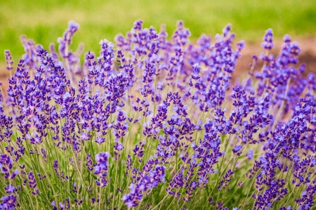 bush to grow up: Lavender flowers blooming in a field in Lawrence, Kansas, USA Stock Photo