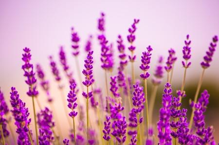 Lavender flowers blooming in a field in Lawrence, Kansas, USA Foto de archivo