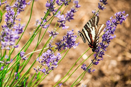papilionidae: A butterfly and lavender flowers