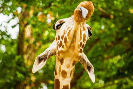 Funny giraffe with tounge out,