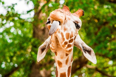 Funny giraffe with tounge out, photo