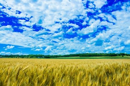 A wheat farm in sunny day in Kansas, USA photo