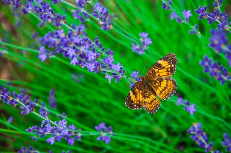 A butterfly and lavender flowers photo