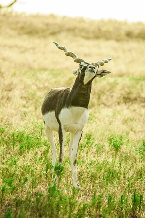 indefinite: A young male Blackbuck  Antilope cervicapra  with Indefinite look, Fossil Rim Wildlife Center near Glen Rose, Texas, USA Stock Photo