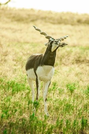 onbepaalde: Een jonge mannelijke Blackbuck Antilope cervicapra met Onbepaalde look, Fossil Rim Wildlife Center in de buurt van Glen Rose, Texas, USA