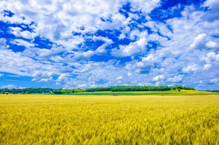 beauty farm: A wheat farm in sunny day in Kansas, USA