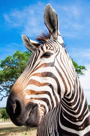 A Grevy s zebra portrait, Fossil Rim Wildlife Center near Glen Rose, Texas, USA Stock Photo