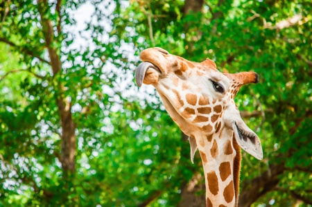 A cute giraffe, Fossil Rim Wildlife Center, Glen Rose, Texas, USA Stock Photo - 20700954