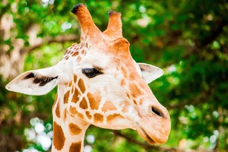 A cute giraffe, Fossil Rim Wildlife Center, Glen Rose, Texas, USA